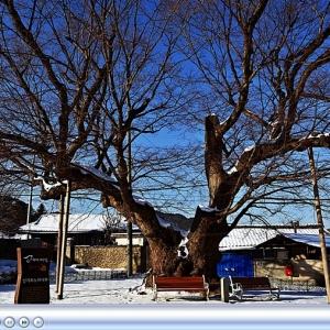 파천면 신기리 느티나무 천년기념물제197호 미리보기